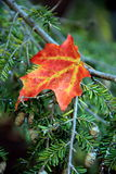 Single Fall leaf resting on branch of pine tree Stock Photos