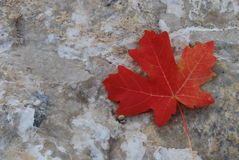 Single Fall Leaf Royalty Free Stock Photography