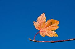 Single fall maple leaf. Last fall maple leaf on branch with bright blue sky background Stock Photos