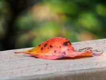 Single Fallen Autumn Leaf Stock Photos