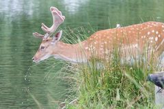 Single fallow stag drinking deer Royalty Free Stock Photos