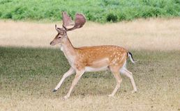 fallow deer stag running stock photography