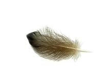 Single Feather Stock Photo