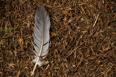 Single feather on the forest floor Royalty Free Stock Images
