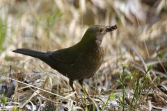 Single female Blackbird bird on grassy wetlands during a spring. Nesting period Royalty Free Stock Images