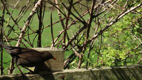 Female blackbird, turdus merula, on fence feeding