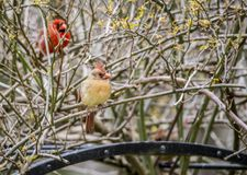 A female Cardinal sits on a branch with the male close by. royalty free stock photos