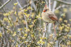 A female Cardinal sits on a branch. royalty free stock images