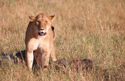 Single female Lion (panthera leo) in savannah Stock Photo