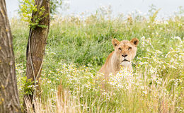 Single female lion Royalty Free Stock Photos