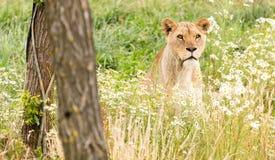 Single female lion Royalty Free Stock Images