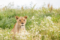 Single female lion Stock Photography