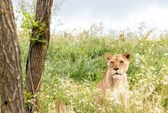 Single female lion Stock Image