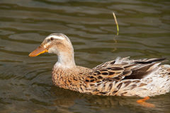 Single Female Mallard Duck Swimming on Green Lake, Azores. Portugal Royalty Free Stock Photo