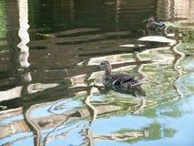A single female mallard on a lake with bridge reflections. Suffolk; UK Stock Images