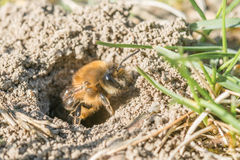 Single female mining bee in her hole on the ground Stock Photography