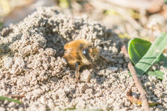 Single female mining bee in her hole on the ground Royalty Free Stock Images