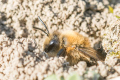 Single female mining bee in her hole on the ground Royalty Free Stock Photography