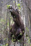 Single female Moose - Eurasian Elk – in a forest thicket in spring season Royalty Free Stock Photo