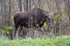 Single female Moose - Eurasian Elk – in a forest thicket in spring season Stock Photo