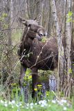 Single female Moose - Eurasian Elk – in a forest thicket in spring season Stock Image
