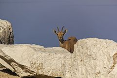 Nubian ibex on the Dead Sea shore, Israel. Single Female Nubian ibex on the Dead Sea shore, Near the Ein Gedi Natural Reserve, Israel Royalty Free Stock Images
