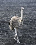 Single female ostrich walking in grass in area of control burn Royalty Free Stock Image