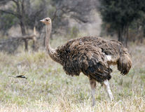 Single female ostrich walking in grass Royalty Free Stock Photography