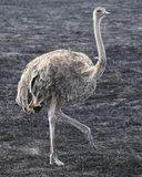 Single female ostrich walking in grass Royalty Free Stock Photos