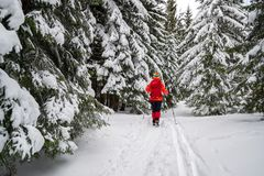 Single female tourist on a Winter snowy hiking trail, going pass snow covered fir trees, alongside ski tracks on the ground. In Piatra Mare Carpathian stock images
