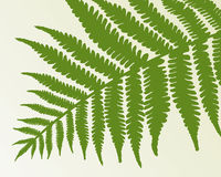 Single fern frond. Isolate object Stock Images