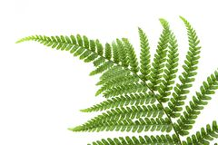Single Fern Leaf Stock Photography
