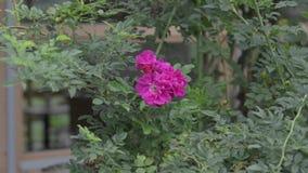 Single fflower wild rose stock footage