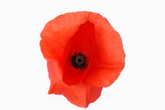 Single field poppy isolated Stock Photos