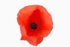 Red poppy isolated Stock Photos