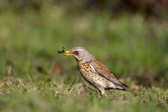 Single Fieldfare bird on grassy wetlands during a spring nesting. Period Stock Photos