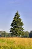 Single fir Royalty Free Stock Image