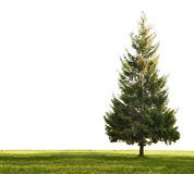 Single Fir And Grass On White Royalty Free Stock Photography