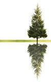 Single fir and grass with reflection Stock Photography
