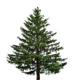 Single fir tree. Big single fir tree isolated on white background stock photography