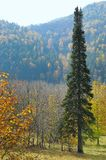 Single fir tree against autumn forest in mountains Stock Photo