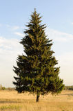 Single fir tree on the meadow Royalty Free Stock Images