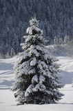 Single fir tree in winter snow Stock Photos