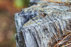 Single fire ant on the stump. Single fire ant on the gray old stump in the forest. Selective focus royalty free stock images