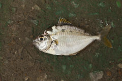 Single fish on the ground Royalty Free Stock Photos