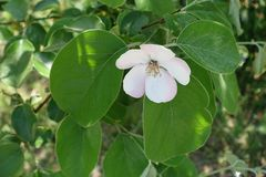 Single five-petaled pinkish white quince flower. Single five petaled pinkish white quince flower Royalty Free Stock Image