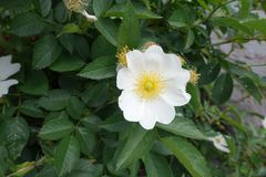 Single five-petaled white flower of rose Royalty Free Stock Photos