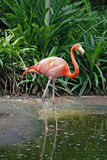 Single flamingo Stock Photo