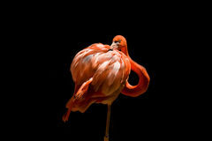 Single Flamingo on Black Royalty Free Stock Photo