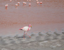 Single flamingo feeding Stock Images